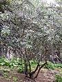 Pittosporum coriaceum kz3.JPG