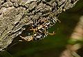 Plagionotus arcuatus-pjt4.jpg