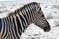 Plains Zebra Head 2019-07-25.jpg