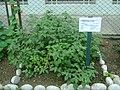 Planta de Aguaymanto en el Jardín Botánico de Lima.jpg