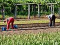 Plantando gladíolos. Galicia (Spain).jpg