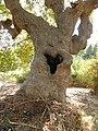 Plantanen-Stamm.jpg