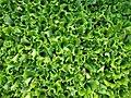 Plantones de lechuga - Lactuca sativa (9682527261).jpg
