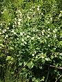 Platanen-Hahnenfuss - Platanenblättriger Hahnenfuss - Ranunculus platanifolius 6804.jpg
