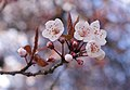 Plum blossoms in Vancouver 3 crop.jpg