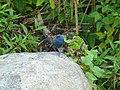 Plumbeous Water Redstart - Rhyacornis fuliginosa - P1060572.jpg