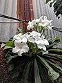 Plumeria pudica 8.jpg
