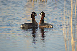 Podiceps grisegena male and female courtship.jpg