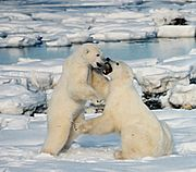 Polar bear males frequently play-fight. During the mating season, actual fighting is intense and often leaves scars or broken teeth.
