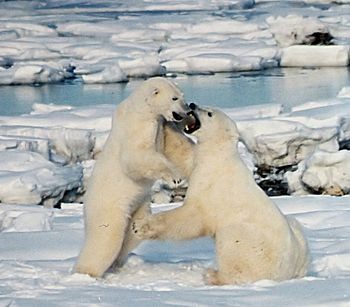 Polar bear males frequently play-fight. During...