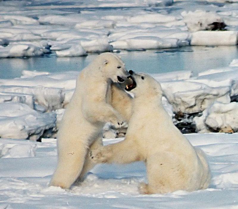 Polar Bears Play fight.JPG