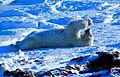 Polarbär 15 2003-11-17.jpg