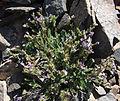 Polemonium pulcherrimum plant.jpg