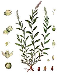 Polygala senega - Köhler–s Medizinal-Pflanzen-247