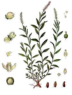 Polygala senega - Köhler–s Medizinal-Pflanzen-247.jpg