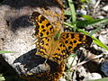Polygonia c-aureum Japan.JPG