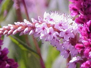Himalaya polar çiçeği