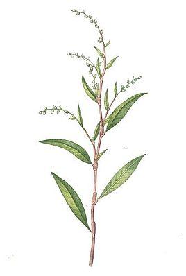 Wasserpfeffer (Persicaria hydropiper) – Illustration von 1832