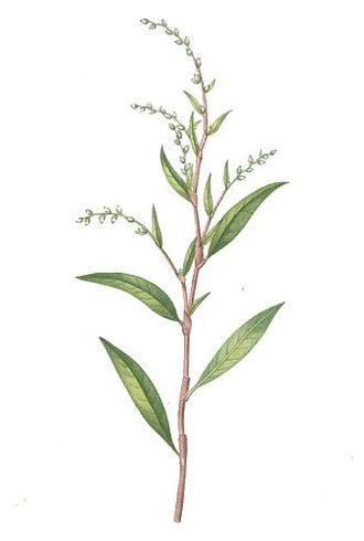 Persicaria hydropiper - 1832 illustration