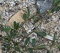 Polygonum oxyspermum subsp. raii plant (06).jpg