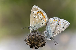 Polyommatus dorylas couple.jpg