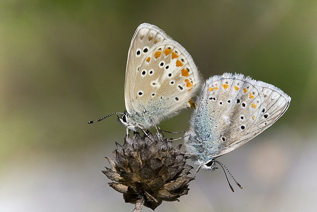 Sưu tập Bộ cánh vảy 3 - Page 42 640px-Polyommatus_dorylas_couple