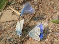 Polyommatus icarus 01.JPG