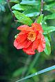 Pomegranate flower bloomed (1).JPG