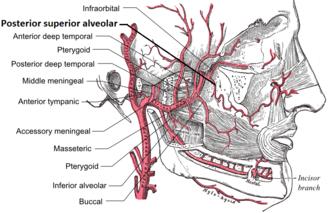 Posterior superior alveolar artery - Plan of branches of maxillary artery