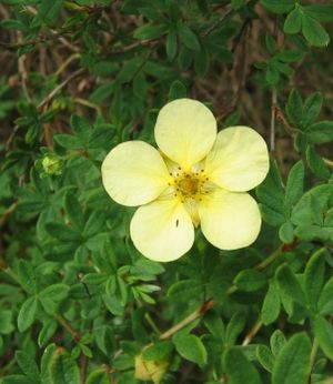Dasiphora - Dasiphora fruticosa in flower