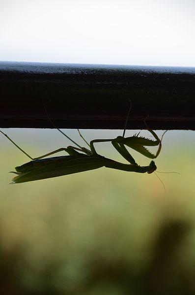 File:Praying-mantis.jpg