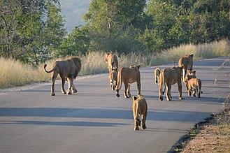 Kruger National Park - Pride of lions on a tourist road