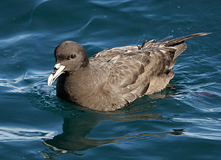 White-chinned petrel species of bird