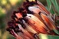 Protea neriifolia-001.jpg