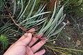 Protea tenax mr fab iNat10952614.jpg