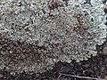 Protoparmeliopsis muralis 123564759.jpg