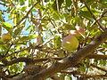 Prunus persica Durazno.JPG