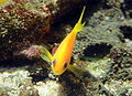 Pseudanthias squamipinnis in UShaka Sea World 1034.jpg