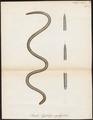 Pseudo-typhlops oxyrynchus - 1700-1880 - Print - Iconographia Zoologica - Special Collections University of Amsterdam - UBA01 IZ11400051.tif