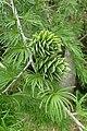 Pseudolarix amabilis kz9.jpg
