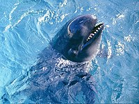 Pseudoorca Crassidens - False Killer Whale.jpg