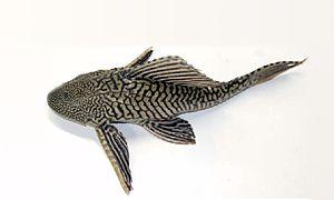Loricariidae - Pterygoplichthys sp.