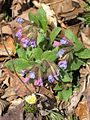 Pulmonaria officinalis-Salzburg, Flachgau, Eugendorf-bE-HdN-1443a.jpg