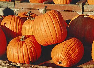 "Shades of orange - The Cucurbita upon which the color ""pumpkin"" is based."