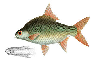 <i>Puntioplites</i> genus of fishes