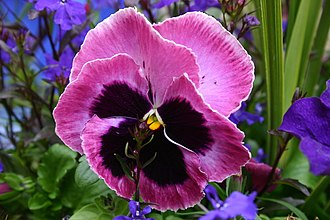 Pansy - Pansy displaying the two upper overlapping petals, the two side petals, and the single bottom petal