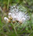 Pussytoes (Antennaria sp.) at Many Glacier Campground - Flickr - Jay Sturner (1).jpg