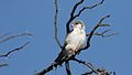 Pygmy falcon, or African pygmy falcon, Polihierax semitorquatus, at Kgalagadi Transfrontier Park, Northern Cape, South Africa. (34384166811).jpg