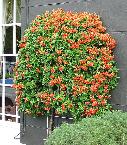 528px-Pyracantha.bush.arp