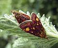 Pyrausta purpuralis1.jpg